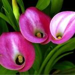 calla lily trio